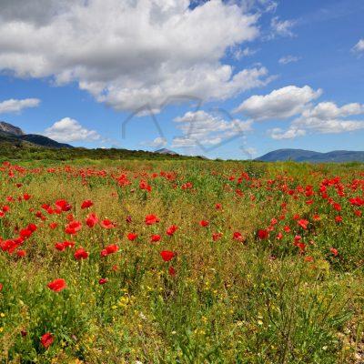 Makova polja