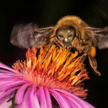 Zlato priznanje za SIMONA SENICO na »Mednarodnem natečaju čebelarske fotografije 2018«.